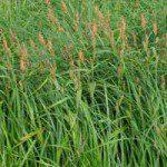 Carex_acutiformisbig