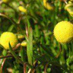 Cotula_coronopifoliabig