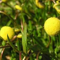 Golden Buttons (Cotula coronopifolia) Marginal plants