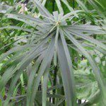 Cyperus_alternifoliusbig