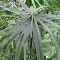 Umbrella Palm (Cyperus Alternifolius) Marginal plants