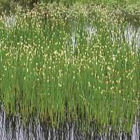 Spike-rush. (Eleocharis Palustris) native Marginal plants