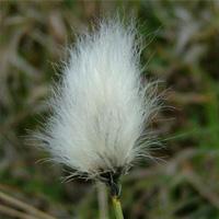 Cotton Grass (Eriophorum Angustifolia) native Marginal plants