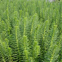 Mares Tail (Hippuris Vulgaris) native. Marginal plants