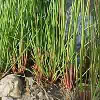 Soft rush (Juncus effusus) Native Marginal plants