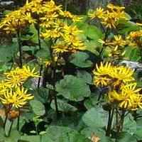 Ligularia dentata ' Desdemona ' (Leopard Plant).  Moisture loving.