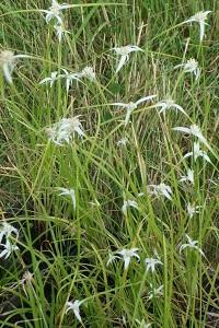 White Star grass (Dichromena colorata) Marginal plants