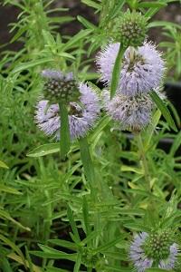 Water Spearmint (Preslia cervina) Marginal plants