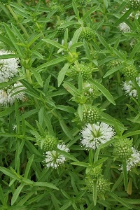 White Water Spearmint (Mentha cervina 'Alba') Marginal plants