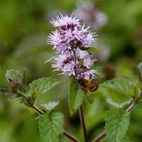 Water Mint (Mentha Aquatica) native Marginal plants