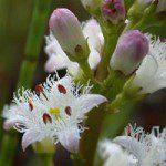 Menyanthes_trifoliatabig