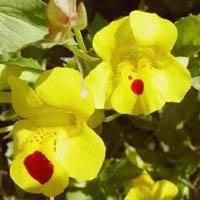 Monkey Musk (Mimulus luteus) Marginal plants