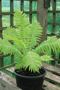 Athyrium filix-femina (Lady fern). Native.  Moisture loving.