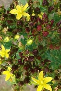 Hypericum tetrapterum (Square-stalked St . John's Wort) Native.  Moisture loving.