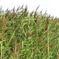 Norfolk Reed (Phragmites australis) Native Marginal plants