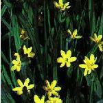 Sisyrinchium Brachypus (Yellow Satin Flowers).  Moisture loving.