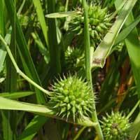 Bur Reed (Sparganium erectum) Native Marginal plants