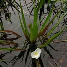 Stratiotes Aloides (Water Soldier) Native
