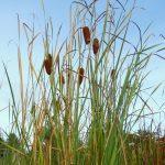 Slender Reed Mace (Typha laxmannii) Marginal plants