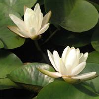 Denver water lily (Nymphaea 'Denver')