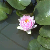 Madame Wilfron Gonnere water lily