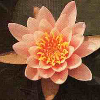 Norma Geyde water lily