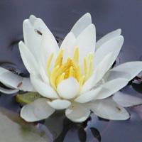Snow Princess dwarf white water lily (Nymphaea 'Snow Princess')