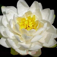 Tuberosa Richardsonii water lily. Large, white water lily.