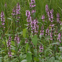Marsh Woundwort  (Stachys palustris) (native) Marginal plants