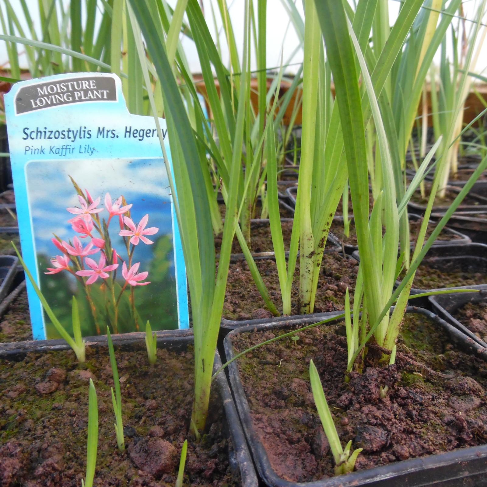Schizostylis Mrs Hegerty (Pink Kaffir Lily)