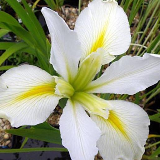 Iris Louisiana 'Arabian bayou'. Marginal plants