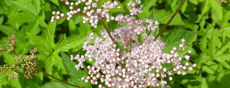 Filipendula-Ulmaria-Rosea1170x450