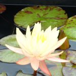 Connoisseur Water Lily Pack - Small Ponds