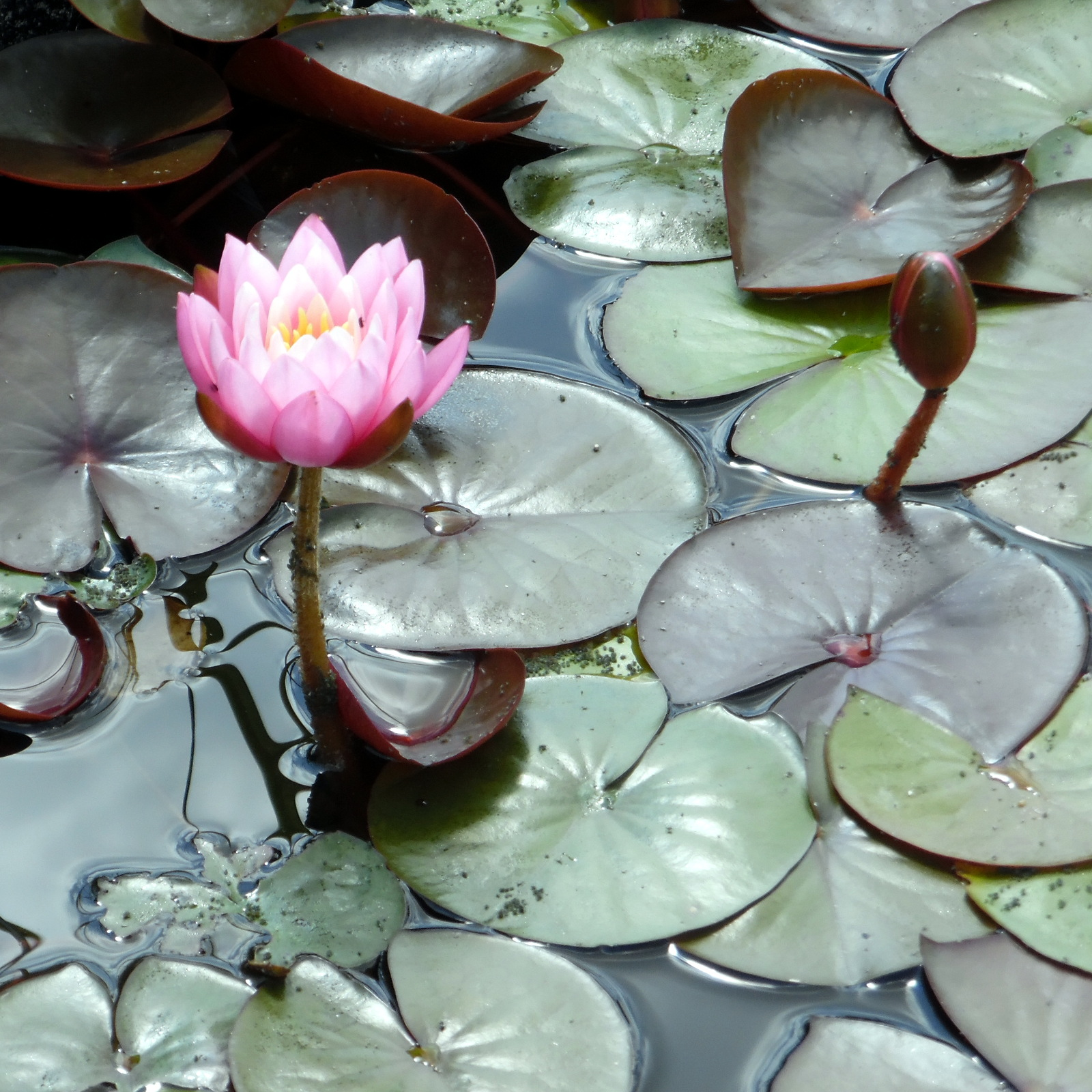 Formal Water Lily Collection - Medium