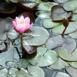 Formal Water Lily Collection - Small