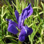 Iris_Laevigata_blue