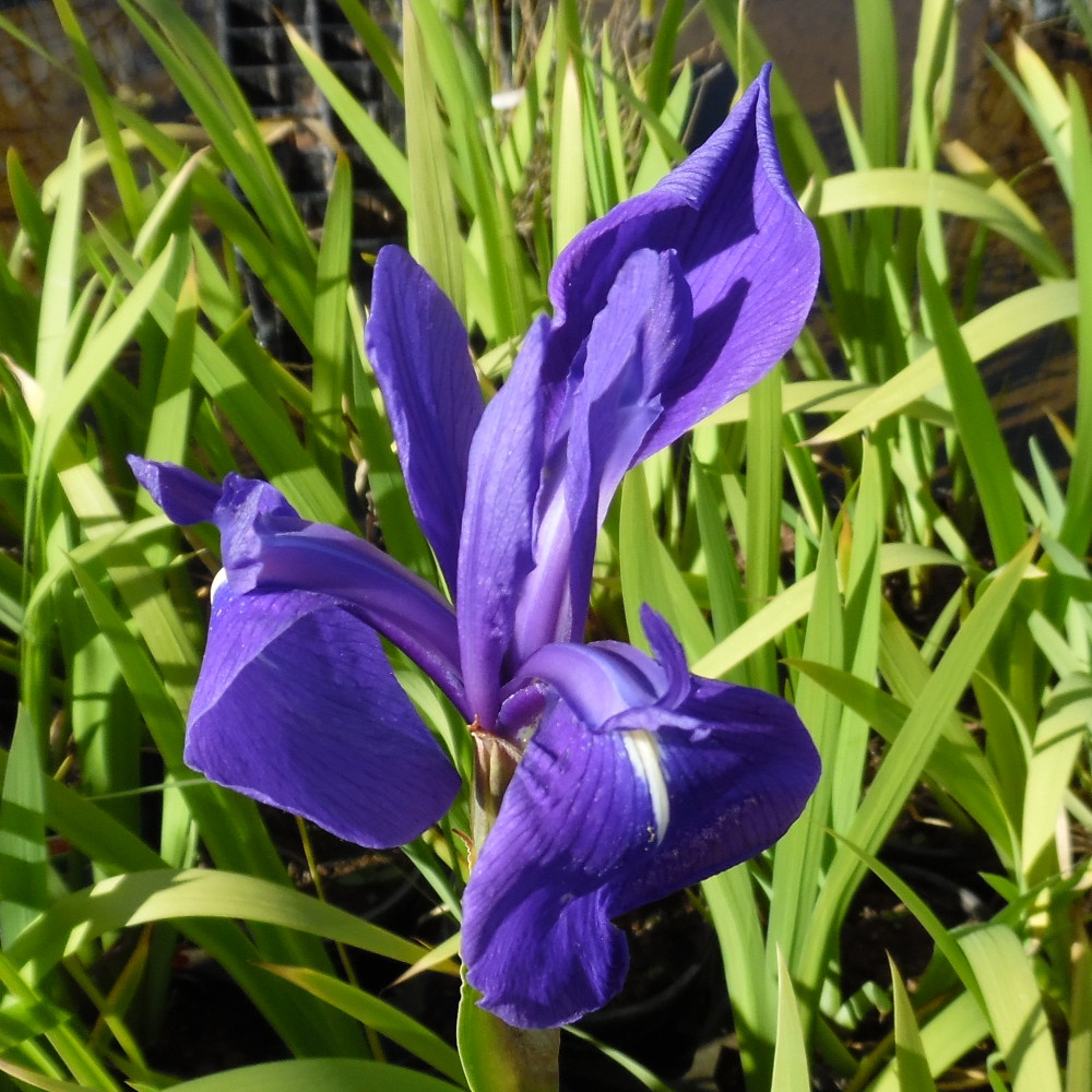 Japanese Water Iris blue (Iris Laevigata blue)