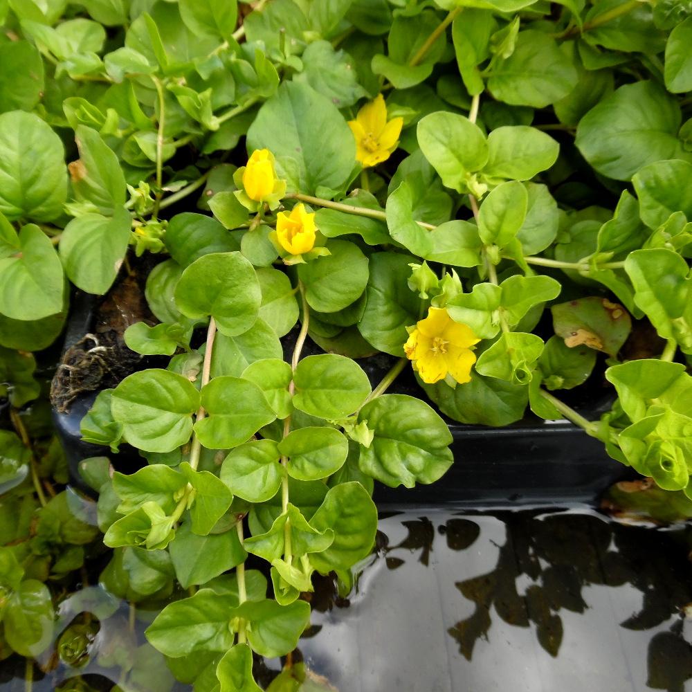 Creeping Jenny. Lysimachia nummularia. Marginal plants