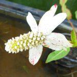 Apache Beads. Anemopsis californicum. Marginal plants