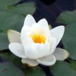 Albatros white water lily