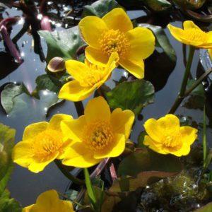 Giant Marsh Marigold