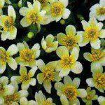 Caltha_palustris_albabig