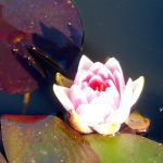 Conqueror_water_lily Oct2017