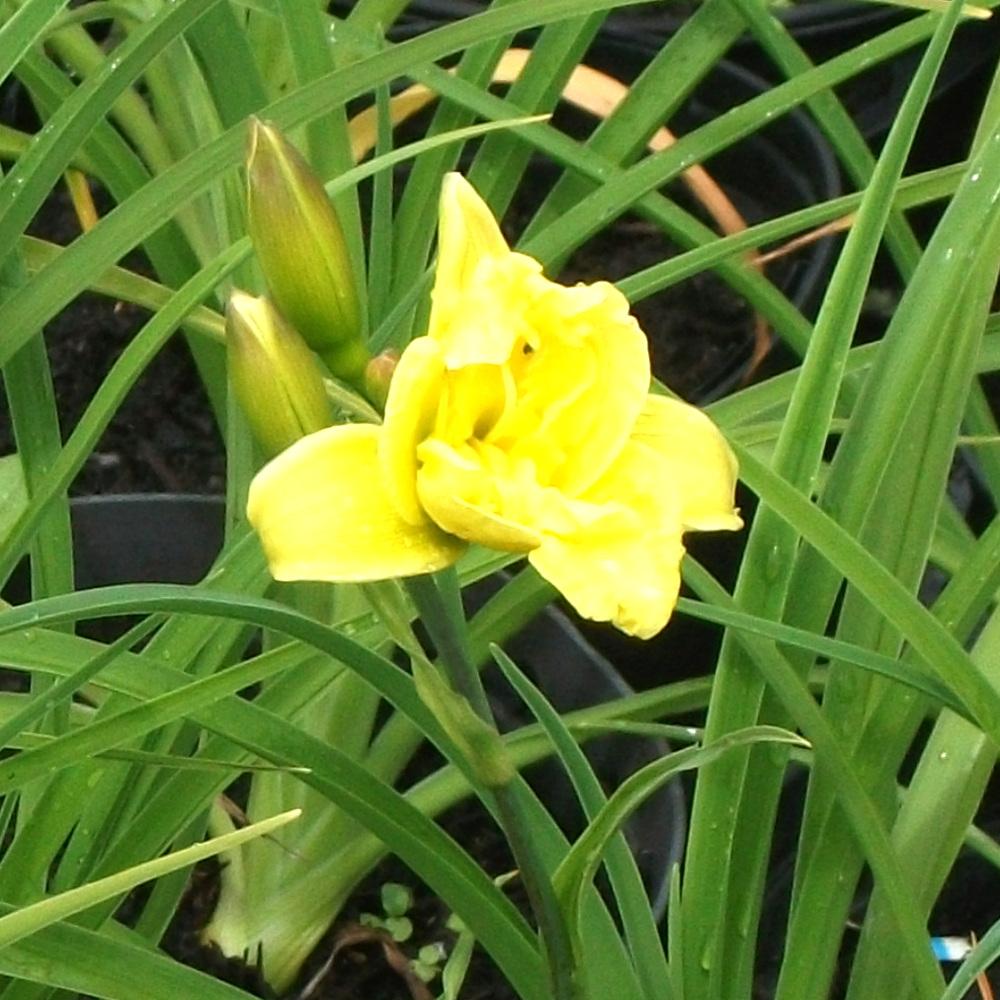 Day lily 'Double River Wye'. (Hemerocallis).  Moisture loving.