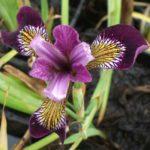 Iris Versicolor Kermesina