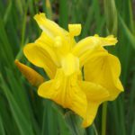Yellow Flag Iris