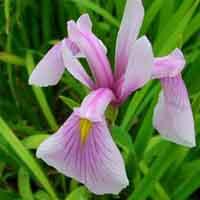 Iris ensata Rose Queen
