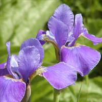 Iris sibirica Silver Edge.  Moisture loving.