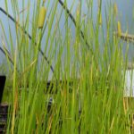 Cattail / reed mace