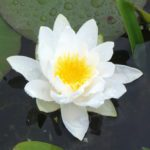 Arc-en-Ciel water lily